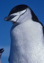 Resting chinstrap penguin. Photo