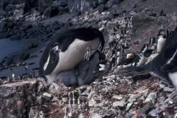 An adult chinstrap penguin feeding its chick. Photo