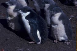 Molting chinstrap penguin chicks, Seal Island, Antarctica. Photo