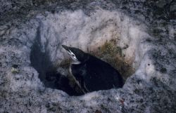 Chinstrap penguin nest in the snow. Photo
