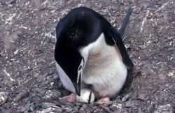 Chinstrap penguin with egg. Photo