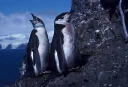 Chinstrap penguins, Seal Island, Antarctica. Photo