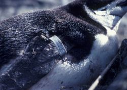 A chinstrap penguin with a flipper tag . Photo