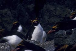 Macaroni penguins at Seal Island, Antarctica. Photo