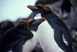 Macaroni penguins at Seal Island, Antarctica. Photo