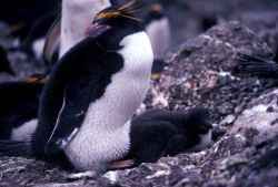 Macaroni penguin with chick at Seal Island, Antarctica. Photo