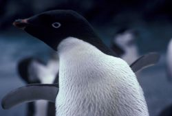 Adelie penguin, Seal Island, Antarctica. Photo