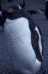 Gentoo penguin, Seal Island, Antarctica. Photo