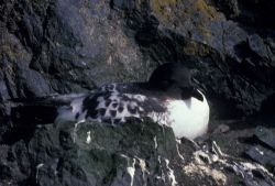 Cape petrel, Seal Island, Antarctica. Photo