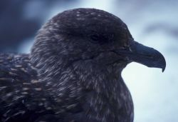 A south polar skua, Seal Island, Antarctica. Photo