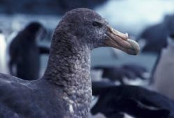 Southern giant petrel, Seal Island, Antarctica. Photo