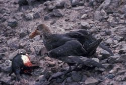 Southern giant petrel feeding on a penguin carcass. Photo