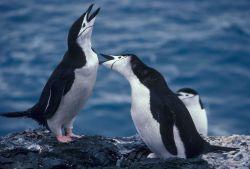 Chinstrap penguins calling, Seal Island, Antarctica. Photo