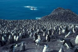 Chinstrap penguin colony, Seal Island, Antarctica. Photo