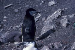 A chinstrap penguin sporting a telemetry tag. Photo