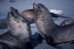 Antarctic fur seals, South Shetland Islands. Photo