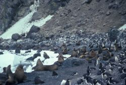 Antarctic fur seal and chinstrap penguins, Seal Island, Antarctica. Photo