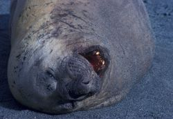 A resting southern elephant seal, South Shetland Islands, Antarctica. Photo