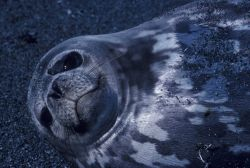 Weddell seal, South Shetland Islands. Photo