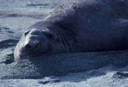 Southern elephant seal, South Shetland Islands, Antarctica. Photo