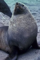 Antarctic fur seal, South Shetland Islands. Photo
