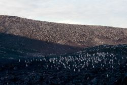 A chinstrap penguin colony, King George Island. Photo