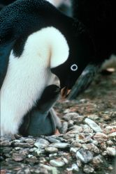 An Adelie penguin feeding its chick. Photo