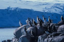 Antarctic shags, South Shetland Islands. Photo