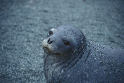 A Weddell seal . Photo
