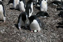 Adelie penguins with their new egg. Photo
