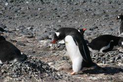 Gentoo penguin building pebble nest. Photo