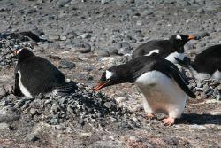 Gentoo penguin building pebble nests. Photo