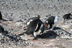 Gentoo penguin stealing pebbles from another penguin nest. Photo