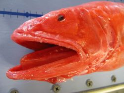 Velvet whalefish (Barbourisia roufa) Photo
