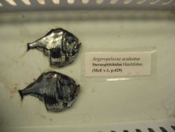 The Atlantic silver hatchetfish (Argyropelecus aculeatus) Photo