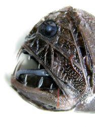 Fangtooth (Anoplogaster cornuta) Photo