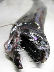 Viperfish (Chauliodus shoani) Photo