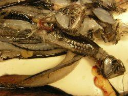 Viperfish (Chauliodus shoani) Photo