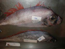 Scalloped ribbonfish (Zu cristatus) Photo