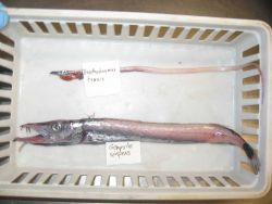 Slender frostfish (benthodesmus tenuis) and snake mackerel (Gempylus serpens) Photo