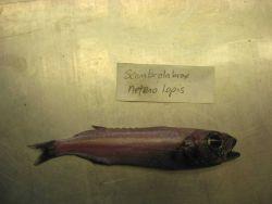 Longfin escolar (Scombrolabrax heterolepis) Photo