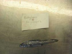 Longsnout blacksmelt (Dolicholagus longirostris has replaced the earlier name of Bathylagus longirostris) Photo