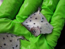 Spotted tinselfish (Xenolepidichthys dalgleishi) Photo