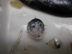 Sunfish larvae (Masturus lanceolatus) Photo