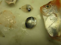 Large fish is boarfish (Antigonia capros) and other juvenile fish and fish larvae. Photo