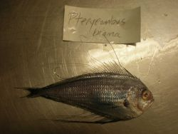Atlantic fanfish (Pterycombus brama) Photo