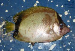 Reef butterflyfish (Chaetodon sedentarius) Photo