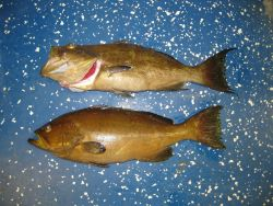 Top - scamp grouper (Mycteroperca phenax) Photo