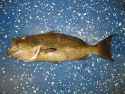 Scamp grouper (Mycteroperca phenax) Photo