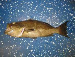 Scamp grouper (Mycteroperca phenax) Photo